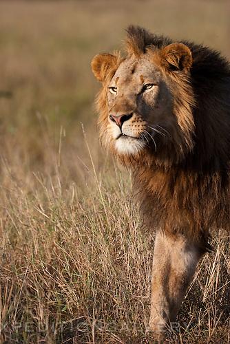 Male African lion (Panthera leo), South Africa. (This species is found in many African countries including South Africa, Botswana, Zambia, Zimbabwe, Namibia, Tanzania, Kenya, Rwanda, Uganda)