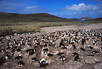 Rockhopper penguins and shags. New Island. Falklands