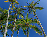 Kauai, Hawaii: looking up at canopy of palm trees and clear blue sky