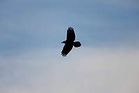 Raven soars in the skies of Denali National Park, Interior, Alaska.
