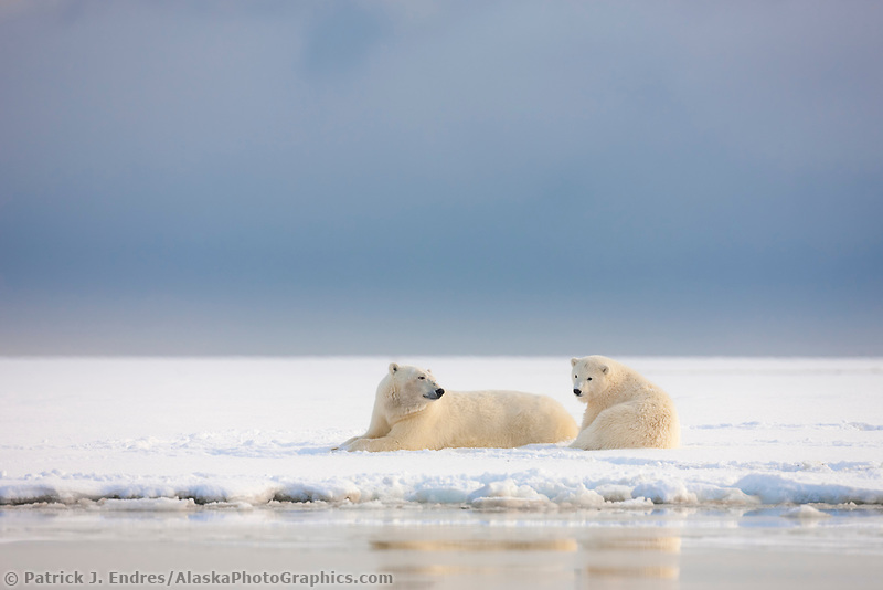 Polar bear sow and cub rest on the snowy shore of a barrier island along the Beaufort Sea, Arctic, Alaska.