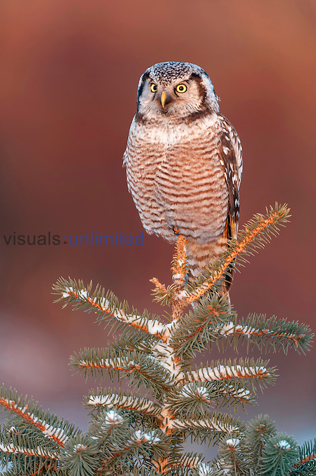 Northern Hawk Owl (Surnia ulula), Minnesota, USA