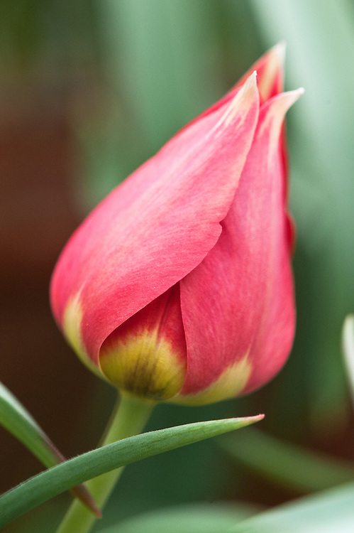"""Tulipa ingens, glasshouse, late March. From Turkestan. The word """"ingens"""" means enormous."""