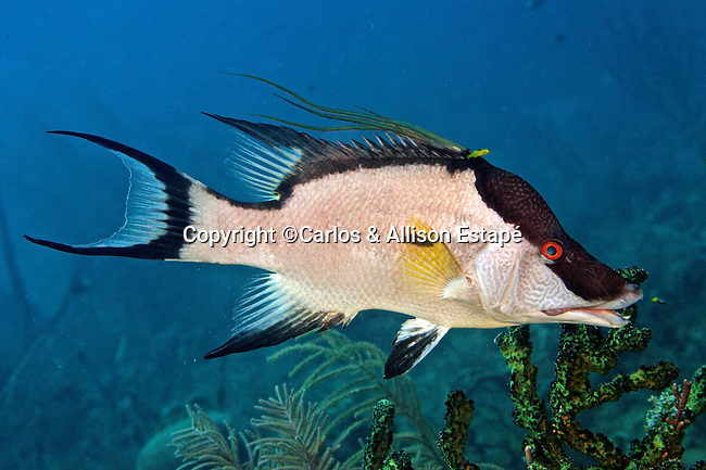 Lachnolaimus maximus, Hogfish, Florida Keys