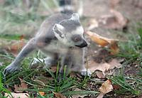 Un cucciolo di Lemure Catta del Madagascar nato in agosto gioca nel Bioparco di Roma, 30 settembre 2009..A baby ringtail Lemur Catta, born on August, plays in Rome's Bioparco, 30 september 2009..UPDATE IMAGES PRESS/Riccardo De Luca