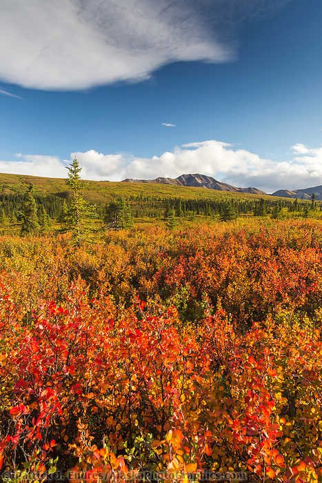 Bright orange colored dwarf birch plants color the autumn tundra in Denali National Park, Alaska.