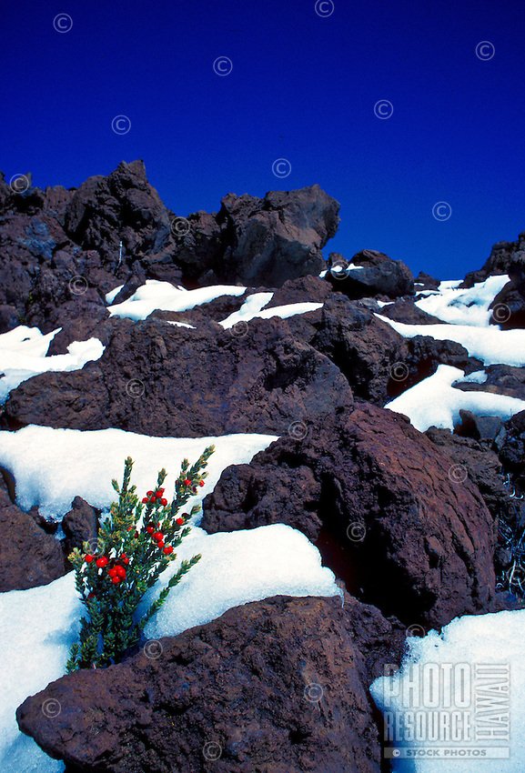Pukeawa with berries in the snow on Mauna Kea, Hawaii.