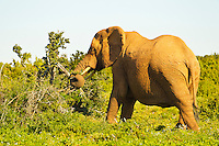 Port Elizabeth, South Africa (Sunday, July 17, 2011) - Elephant Cow. Addo Elephant National Park. The park is a sanctuary to a multitude of game species and abundant birdlife including over 500 Elephants, Lions, Black Rhinos, Buffalos, Leopards and Zebra.  Photo: joliphotos.com
