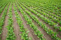 Sugar beet - Lincolnshire, June