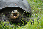 galapagos giant tortoise on el chatto santa cruz galapagos