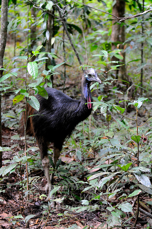 Sub - adult Southern Cassowary, (Casuarius casuarius), also known as the Double-wattled Cassowary, Australian Cassowary or Two-wattled Cassowary, is a large flightless black bird. It is a Ratite and therefore closely related to the Emu, Ostrich, and Rhea...