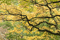 cork tree branches, Arnold Arboretum, autumn, Boston, MA