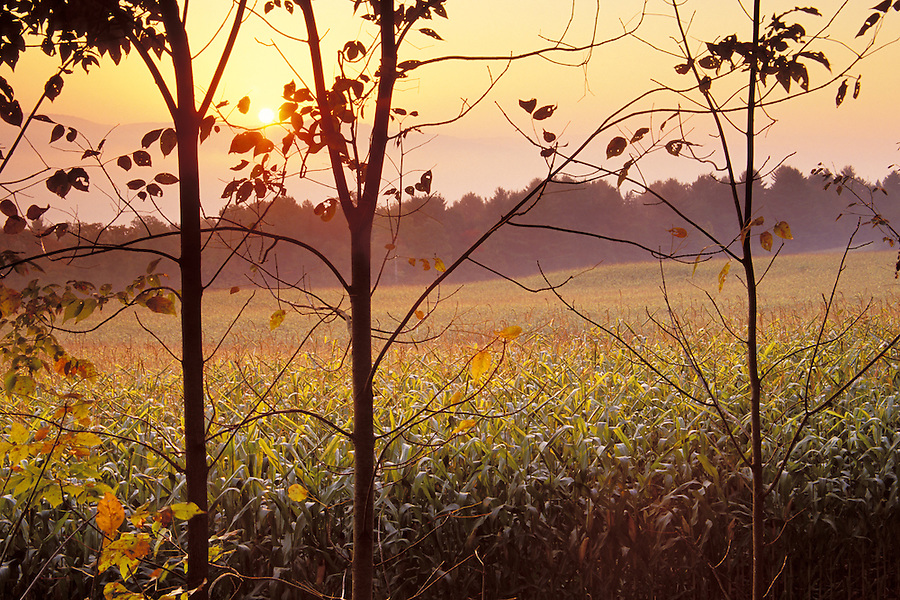 Sunrise over corn fields viewed through trees, St Johnsbury, Caledonia County, VT