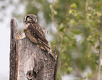 A male Northern Hawk Owl rests atop a chosen nest cavity at top of a broken tree.