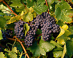 Pinot Noir grapes on the vine. Blenheim Marlborough New Zealand.