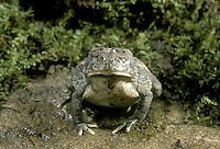 Toad swallows deeply the rest of the earthworm-- a whole body swallow