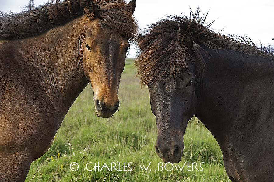 The Icelandic horse is a breed of horse developed in Iceland. Although the horses are small. Icelandic horses are long-lived and hardy.<br /> <br /> -Limited Edition of 50 Prints