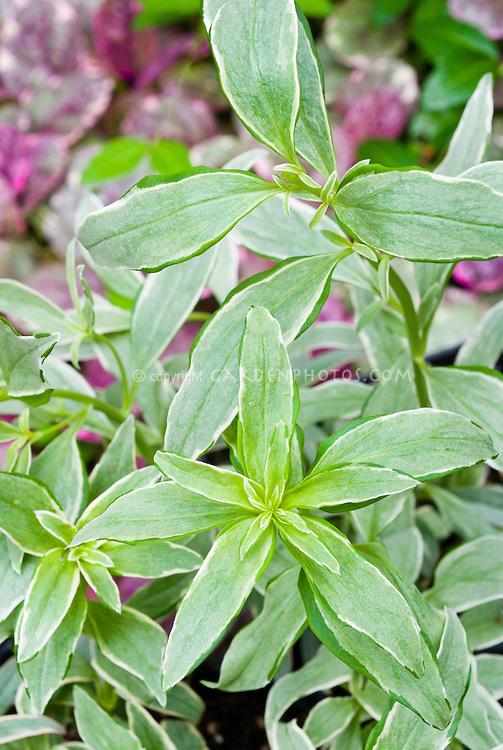 Antirrhinum Snapdragon Eternal variegated foliage leaves