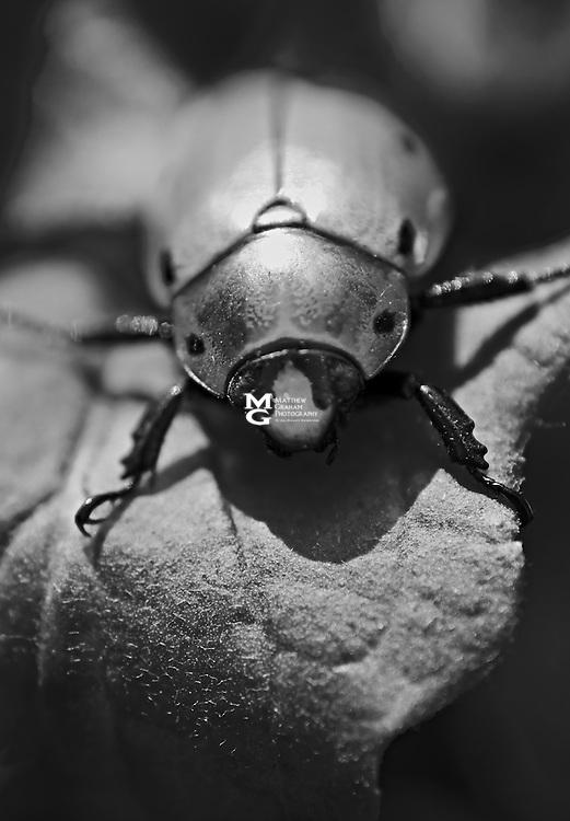 Spotted Grapevine Beetle, Pelidnota punctata