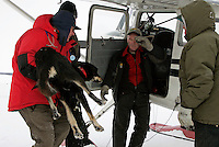 A veterinarian hands a dropped dog to pilot Tim Skala in Shaktoolik for a ride back to Unalakleet on Monday