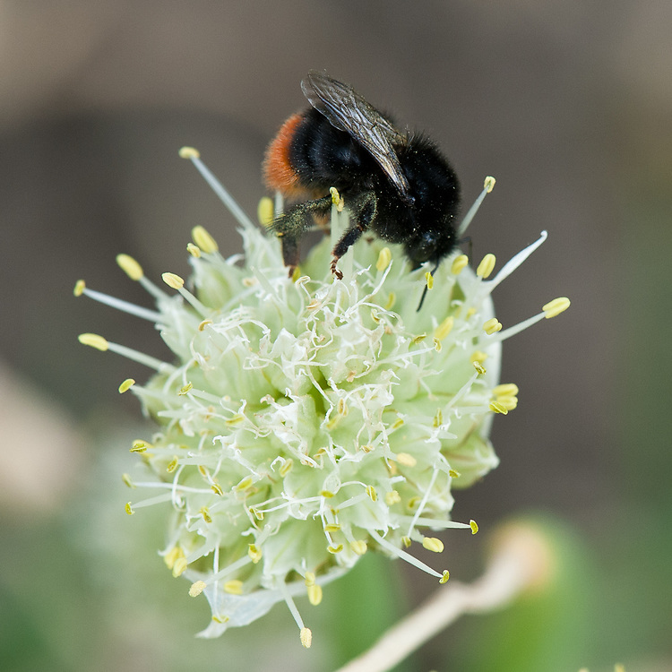 Bee on Welsh onion or Japanese bunching onion (Allium fistulosum), late May.