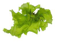 Sea Lettuce - Ulva lactuca