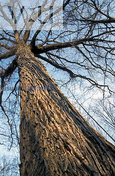 Bur Oak ,Quercus macrocarpa, bark