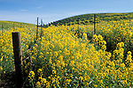 Mustard flowers bloom in spring in a vineyard, Carneros Region, Napa Valley Wine Country, California