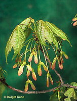 MP03-010a  Red Maple - seeds and new leaves - Acer rubrum