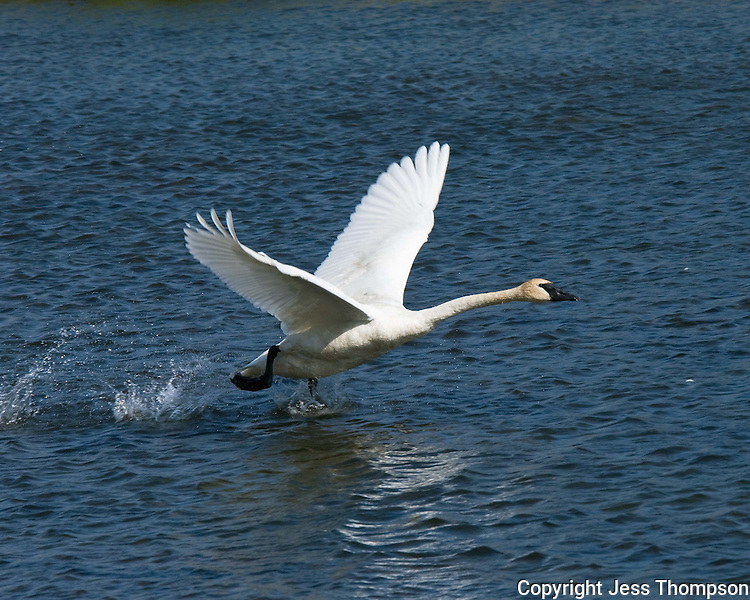 Trumpeter Swan runs on water to take off in flight at Jackson Hole, Wyoming