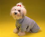 Bichon-Havanese in sweater.