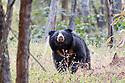 Adult male (boar) sloth bear (Melursus ursinus) foraging in forest understory. Panna Tiger Reserve, Madhya Pradesh, Central India
