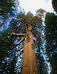 The Grizzly Giant, Giant Sequoia (Sequoiadendron giganteum), Mariposa Grove, Yosemite National Park, California, USA.
