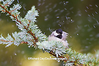 01299-03313 Carolina Chickadee (Poecile carolinensis) bathing in mist, Marion Co., IL
