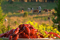 Big heap of traditional Swedish crayfish and dill on a plate against a nature background with cows on a field. Smaland region. Sweden, Europe.