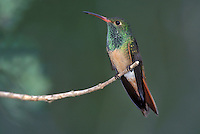 Buff-bellied Hummingbird - Amazilia yucatanensis - Adult