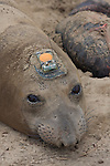 Elephant seal female with tracking device on head