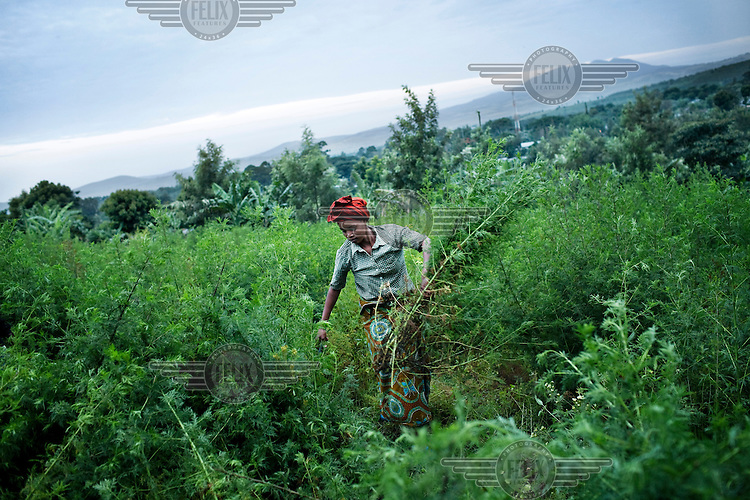 A woman works in an artemisia field in Tanzania. Artemisia is used to make ACT (Artemisinin combination therapy), currently the most efficient drug combating malaria.