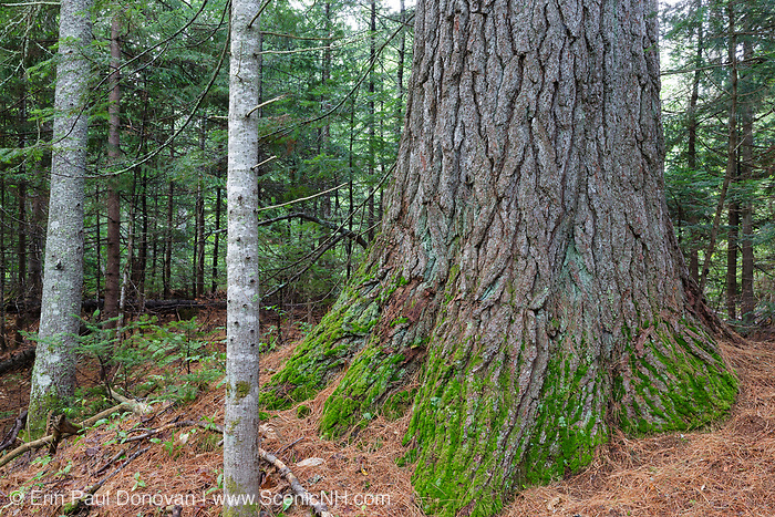 Mature Eastern White Pine (Pinus strobus) with a 129 inch (+/-) circumference in the Swift River valley of Albany, New Hampshire. This area was logged during the Swift River Railroad era, which was a logging railroad in operation from 1906-1916.