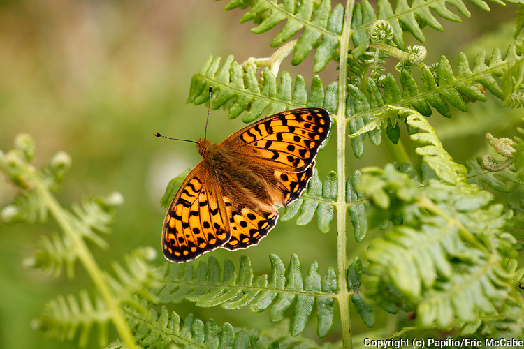 Dark Green Fritillary, Argynnis aglaja in Perthshire<br /> UK<br /> lepidoptera<br /> Butterfly<br /> insect<br /> Scotland