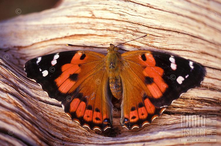 native Kamehameha butterfly (Vanessa tamehameha) on all islands