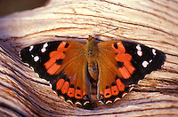 native Kamehameha butterfly (Vanessa tamehameha) on all islands