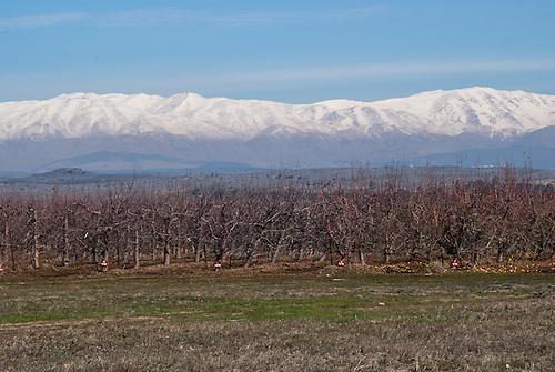 Mont Hermon, Plateau du Golan occupé, Israel. Un champ de pommier d'hiver, le mont Hermon en arriere plan.