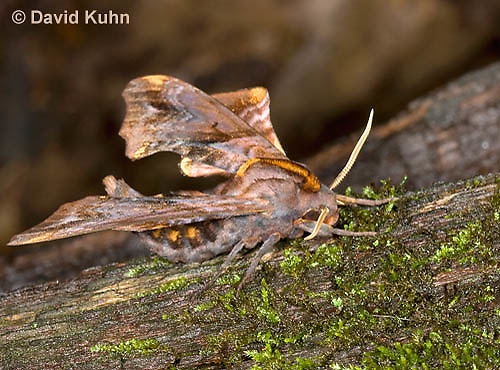 0304-1207  Small-eyed Sphinx, Paonias myops  © David Kuhn/Dwight Kuhn Photography