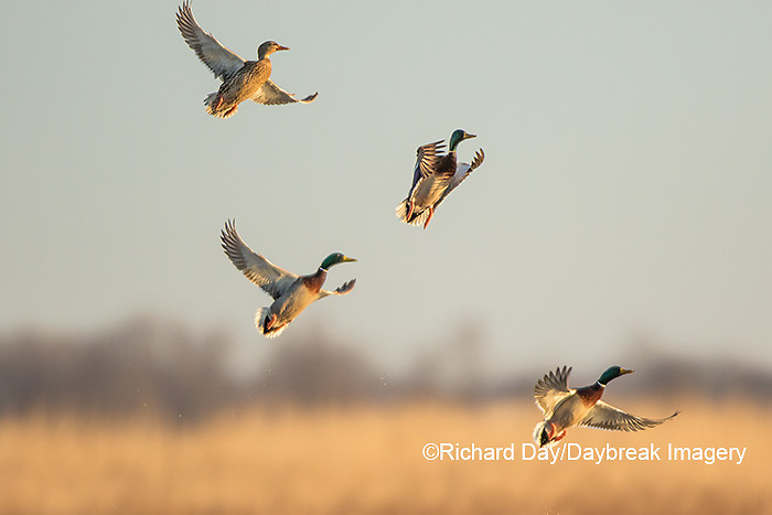 00729-02315 Mallards (Anas platyrhynchos) flying from wetland, Marion Co., IL