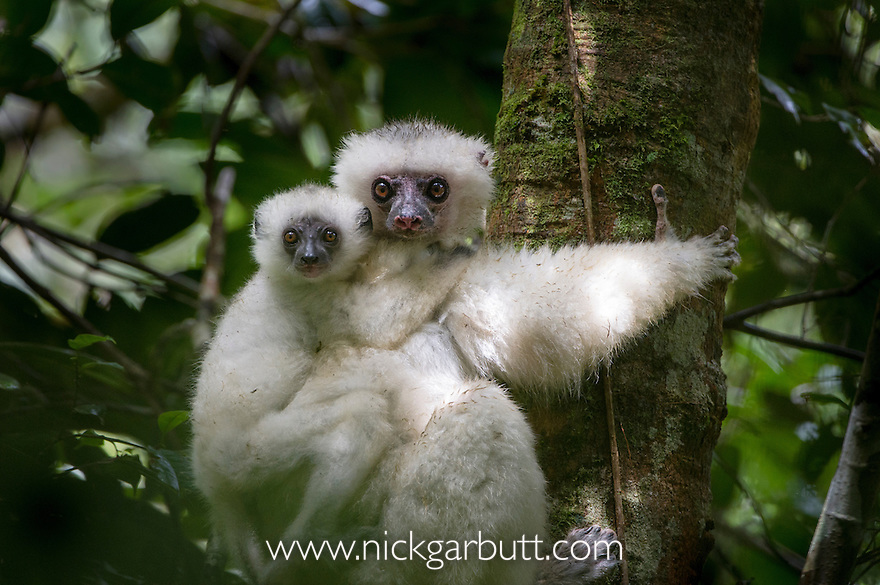 Female Silky Sifaka (Propithecus candidus) with 2-month old offspring. Marojejy National Park, north east Madagascar (IUCN: Critically Endangered).
