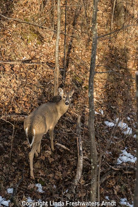 Doe spots a hunter in a treestand
