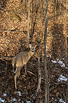 Doe spots a hunter in a treestand