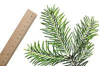 Weiß-Tanne, Weißtanne, Weisstanne, Edeltanne, Silbertanne, Tanne, Abies alba, European silver fir, silver-fir, Le Sapin blanc, Sapin commun, Sapin pectiné