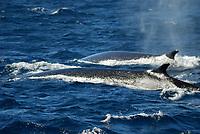 Antarctic Fin Whale (Balaenoptera physalus). Scotia Sea, Antarctica.